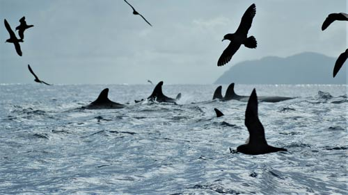 Cetacean seabird associations